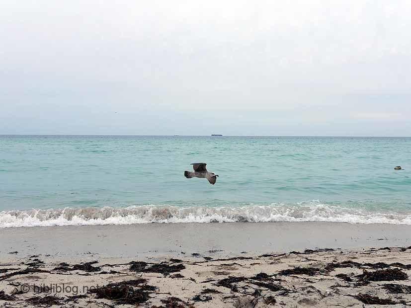 Miami Beach mouette en vol