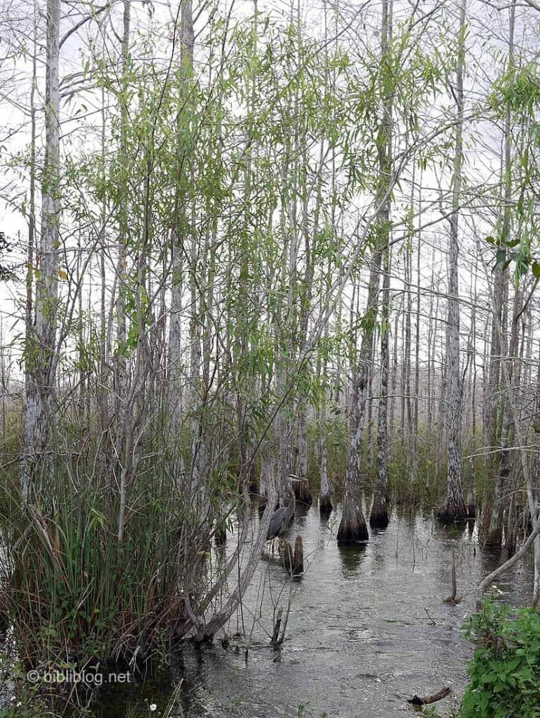 héron bleu Everglades