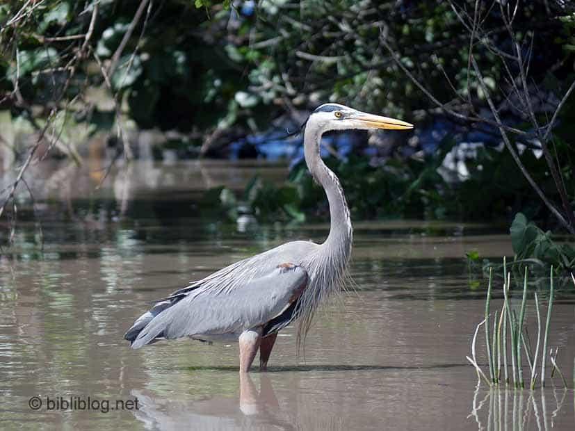 héron Everglades