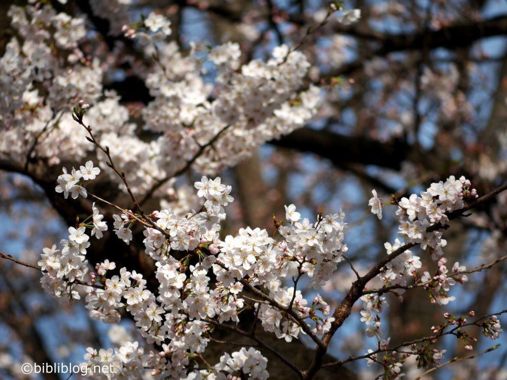 sakura-tokyo