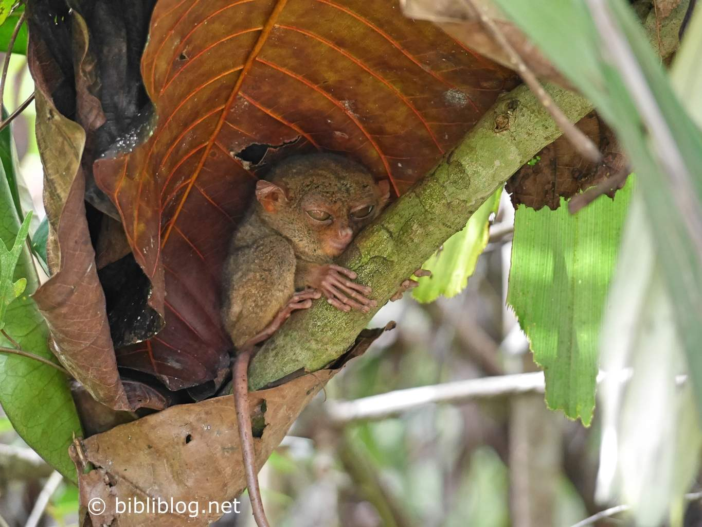 tarsier-sleeping