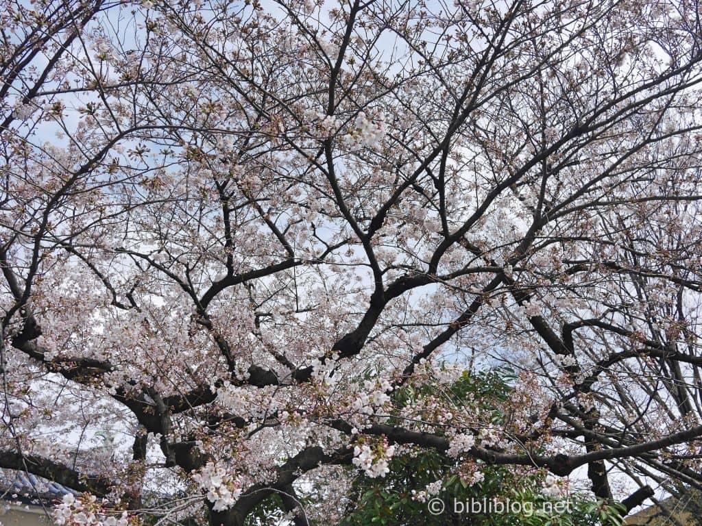 Ou Voir Des Cerisiers A Tokyo