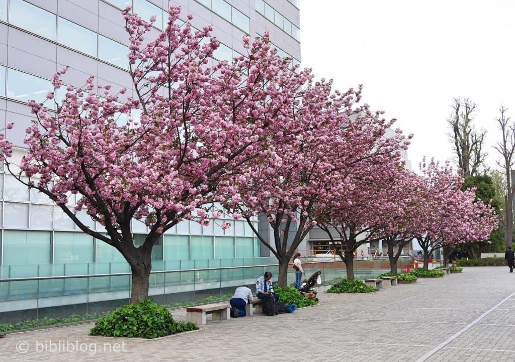cerisiers-roses-tokyo