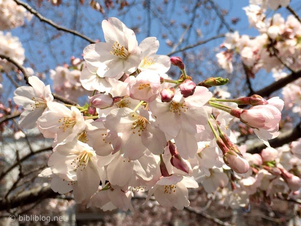 fleur-sakura