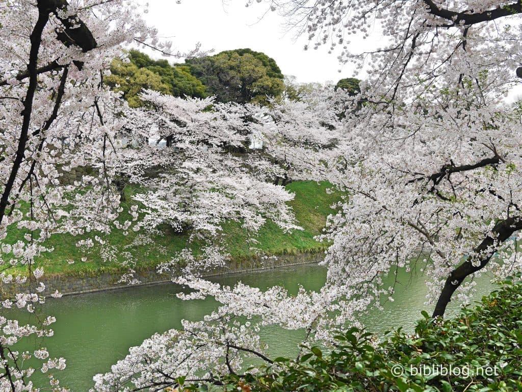 sakura-full-blossom
