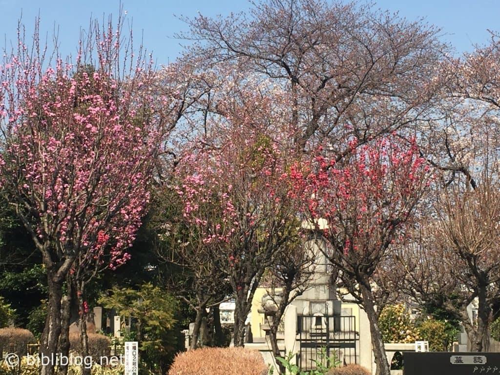 sakura-rose