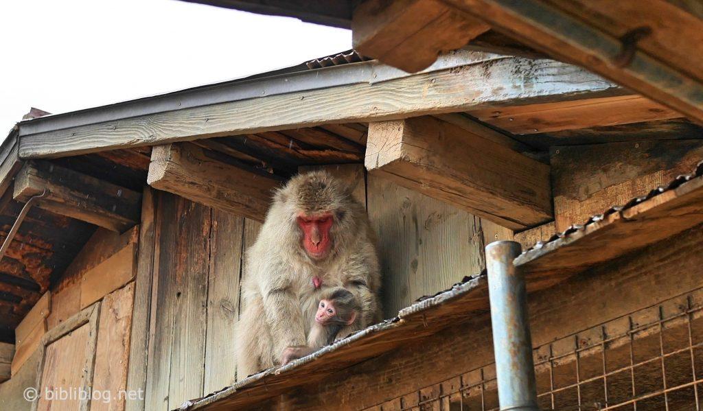kyoto-singes