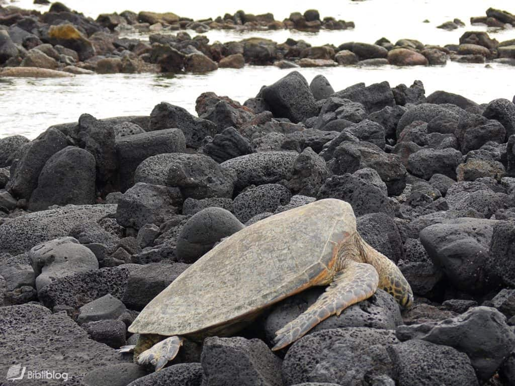 Tortue Hawaii
